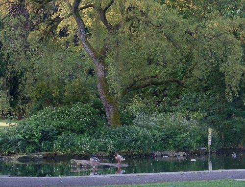 Scheduled Maintenance Work on the Duck Pond in Collett Park
